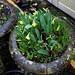 Narcissus 'Tête á Tête' at Nuthurst, West Sussex, England 03