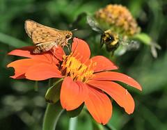 """Intruder Alert"" (Vidterry) Tags: skipper bee mexicansunflower"