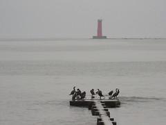 The Gathering 1 (jadedirishgryphon) Tags: cormorant birds lakemichigan sheboygan wisconsin fog summer