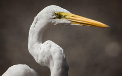 "Great egret • <a style=""font-size:0.8em;"" href=""http://www.flickr.com/photos/75865141@N03/48749711906/"" target=""_blank"">View on Flickr</a>"