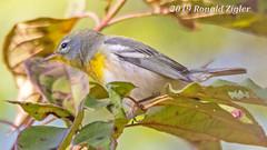 Northern Parula Warbler IMG_7139 (ronzigler) Tags: northern parula warbler wildlife nature birdwatcher songbird avian bird