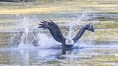 Bald Eagle dives for a fish after making an Osprey drop it IMG_7155 (ronzigler) Tags: bird nature baldeagle sigma raptor avian birdofprey birdwatcher 150600mm eagle