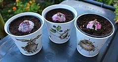 2019 ~ 260/365 (ttelyob) Tags: 365 260365 hyacinth bulbs picmonkey
