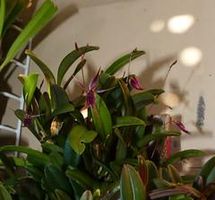 Andinia schizopogon species orchid 8-19 (nolehace) Tags: andinia schizopogon species orchid 819 1st summer nolehace sanfrancisco fz1000 flower bloom plant