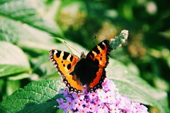 The butterfly effect #nature #insect #butterfly #flowers #colours (MadelynBMedia) Tags: nature insect butterfly flowers colours