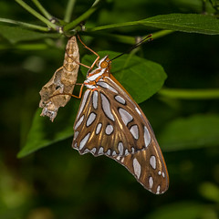 Gulf Fritillary, Agraulis vanillae (webersaustin) Tags: butterfly insect fresh birthday