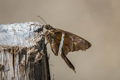White-striped Longtail, Chioides albofasciatus (webersaustin) Tags: butterfly skipper insect