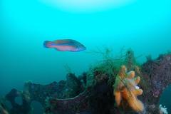 Scotland-201908-Orkney-Dive8-F2andYC21-16-MaleCuckooWrasse (Tony J Gilbert) Tags: orkneys scotland scubadiving orkneyislands marine diving marinefish nikond300 60mmlens 105mmlens underwater underwaterphotography travel travelogue scottishtravel scottishscubadiving scottishlandscapes scottishwildlife