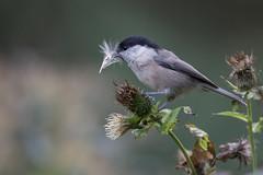 Alpenmeise (wsprecher) Tags: poecile montanus vögel singvögel meisen wildlife wsnaturpic alpen