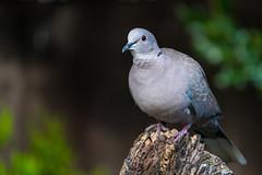Collared Dove........ (flicks pix1946) Tags: collarddove streptopeliadecaocto bird wildlife nature autumn cloudy bark bokeh green brown grey red black white sony a9 200600mm nottinghamshire flickspix1946 klythawk