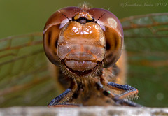 Dragonfly_E5A6777 (Jonathan Irwin Photography) Tags: dragonfly