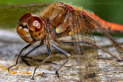 Dragonfly_E5A6772 (Jonathan Irwin Photography) Tags: dragonfly
