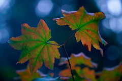 it's coming (♫ marc_l'esperance) Tags: leitzelmarf9cm14 leitz elmar 9cm 90mm f4 vintagelens manualphotography mmode fall autumn colours colors colour red green gold blue bokeh nature leaves leaf branch seasonal marclesperancephoto 2019 cml luxmaticcom burnaby centralpark