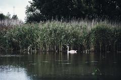 Swan lake (manuel ek) Tags: swan svan husiemosse husie mosse damm pond water bird nature natur wildlife fujifilm xh1 fujinon 50140 manuelekphoto
