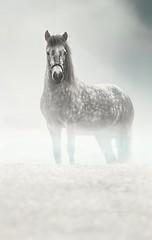 Foggy, mystical islandichorse (GE.86) Tags: islandpony islandpferd islandichorse fog foggy nikond5300 nikon nikondeutschland tamron tamron70200mm tamron70200mm28 schimmel schimmelpony horse horsepower pferd horses pferde