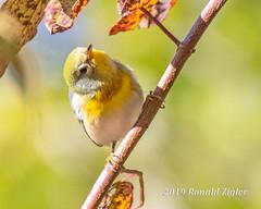 Northern Parula Warbler IMG_7131 (ronzigler) Tags: northern parula warbler wildlife nature birdwatcher songbird avian bird