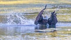 Bald Eagle dives for a fish after making an Osprey drop it IMG_7156 (ronzigler) Tags: baldeagle raptor birdofprey bird birdwatcher avian sigma 150600mm nature eagle