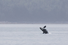 Orca off Vancouver Island (Peter Starling) Tags: canada peterstarling whale watching watch port mcneill mcneil hardy johnstone strait orca orcinus sea mackay bill canon 7dii 7dmk2 7dmkii 7d2 100400 nature wildlife vancouver island northern resident killer breach jump
