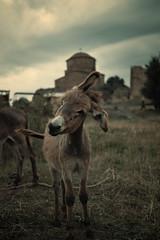 DSCF3836-2 (Gocha Nemsadze) Tags: donkey gochanemsadze georgia mtskheta fujifilmxt20 fujifilm animal fujinonxf35mmf2rwr georgien