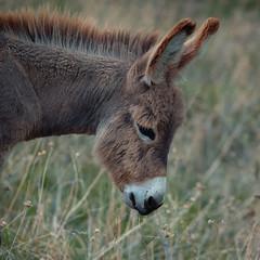 Donkey (Gocha Nemsadze) Tags: donkey gochanemsadze georgia mtskheta fujifilmxt20 fujifilm animal rokinon85mmf18