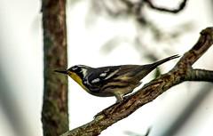 Yellow-throated Warbler (Setophaga dominica) (ACEZandEIGHTZ) Tags: nikond3200 macro closeup nature bokeh tree branches backyard birdwatcher feathers yellowthroatedwarbler setophagadominica