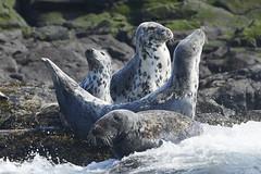 Grey seals (pierre_et_nelly) Tags: halichoerusgrypus greyseal seal focagrisa focacinzenta focagris focagrigia foca kegelrobbe phoquegris phoque farneislands nationaltrust