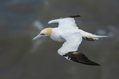 gannet (colin 1957) Tags: gannet seabirds bempton
