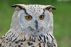 Siberian eagle owl - Falconry fair (Mandenno photography) Tags: animal animals siberian eagle eagleowl owl owls bird birds falconry fair falconryfair valkerij valkerijbeurs tilburg ngc nature nederland netherlands natgeo natgeographic bbcearth discovery