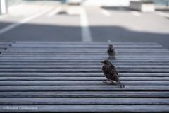 (florent!) Tags: cantondevaud lausanne suisse banc moineau oiseaux