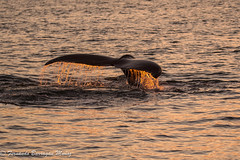 whale (barragan1941) Tags: mammals whale tail sea sunset water norway