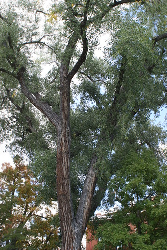 Photo - COB Forestry - CU cottonwood 4