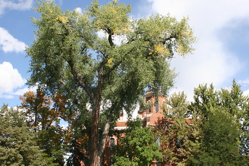Photo - COB Forestry - CU cottonwood 3