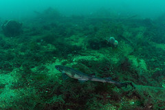 Scotland-201908-Orkney-Dive8-F2andYC21-17-Catshark (Tony J Gilbert) Tags: orkneys scotland scubadiving orkneyislands marine diving marinefish nikond300 60mmlens 105mmlens underwater underwaterphotography travel travelogue scottishtravel scottishscubadiving scottishlandscapes scottishwildlife
