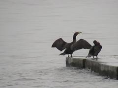 The Gathering 2 (jadedirishgryphon) Tags: cormorant birds lakemichigan sheboygan wisconsin fog summer