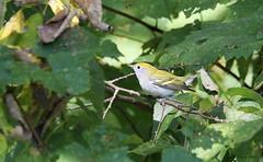 BBWIMG_3345-1 (Wildlife Paparazzi) Tags: baybreastedwarbler aultparkcincinnatioh