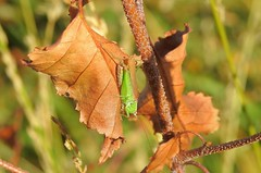 Long-winged Conehead (Conocephalus fuscus) (Nick Dobbs) Tags: longwinged conehead conocephalus fuscus cricket insect dorset heath heathland tettigoniidae male
