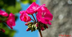 Garden Flower (1885) (red.richard) Tags: garden flower pink bokeh sun sky nikon d800 cof078 cof078mari cof078lep cof078dmnq cof078babe