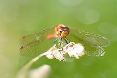 Common Darter (Sympetrum striolatum) (JordanNaturePht) Tags: macro tokina100mmmacro tokina nikond7200 nikon bugs invertebrates invertebrate insects insect dragonflies dragonfly commondarter