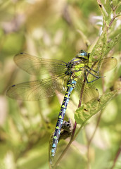 Southern Hawker Dragonfly (daveduke) Tags: southernhawker dragonfly quarrybankmill nikonz6 nikon200500mmf56vr ftzadapter