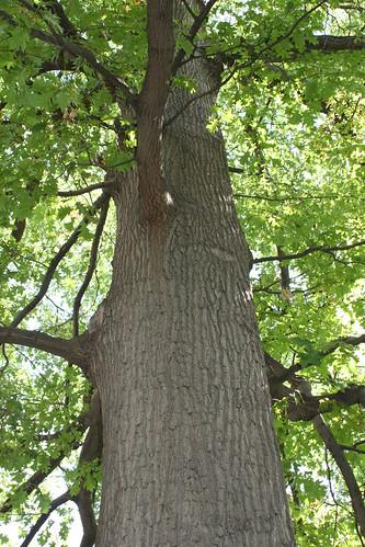 Photo - COB Forestry - CU red oak 2