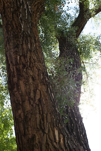 Photo - COB Forestry - CU cottonwood 6