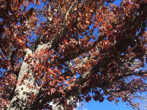 Photo - COB Forestry - white oak 7
