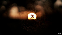 araignée rayonnante (Louis-Marie Thoorens) Tags: soleil nature araignée versailles animal soir portrait spider sun