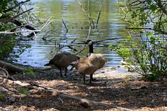 Canada Geese (ivlys) Tags: usa california redding lassenvolcanicnationalpark feuer fire manzanitalake see lake kanadagänse canadageese tier animal landschaft landscape natur nature ivlys