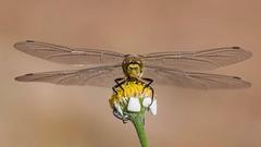 Immature (jrosvic) Tags: eyes wings invertebrates insects nikon libellulidae nature macro biology entomology freehand anisoptera odonata libélula orthetrumcancellatum