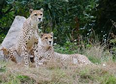 Cheetahs (James Tompkins) Tags: dartmoor zoo cheetahs nikon d7000 tamron 70300mm