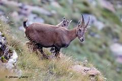 La Natura e'.... (silvano fabris) Tags: canonphotography wildlifephotography nature natura mountain montagna faunaselvatica animals animali camoscio