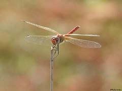 Dragon fly (Geminiature Nature+Landscape Photography Mallorca) Tags: libelle libélula dragonfly mallorca small red rood rojo libelles odonata