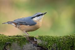 Nuthatch (Matt Hazleton) Tags: nuthatch sittaeuropaea bird wildlife animal nature outdoor canon canoneos7dmk2 canon100400mm eos 7dmk2 100400mm matthazleton matthazphoto northamptonshire woodland wood
