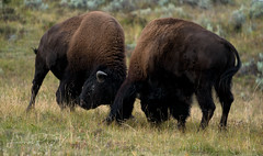 the Dance of Rivals (laura's Point of View) Tags: bison buffalo bull animal wildlife rut fight breeding autumn impressive amazing yellowstonenationalpark yellowstone nationalparks wyoming unitedstates west western nature wilderness mothernature lauraspointofview lauraspov lamarvalley